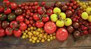 Tomater i forskjellig størrelse og farger.