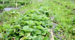 Foredling av  jordbær, Graminor Hamar