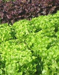Miljøbilde av salat i åkeren