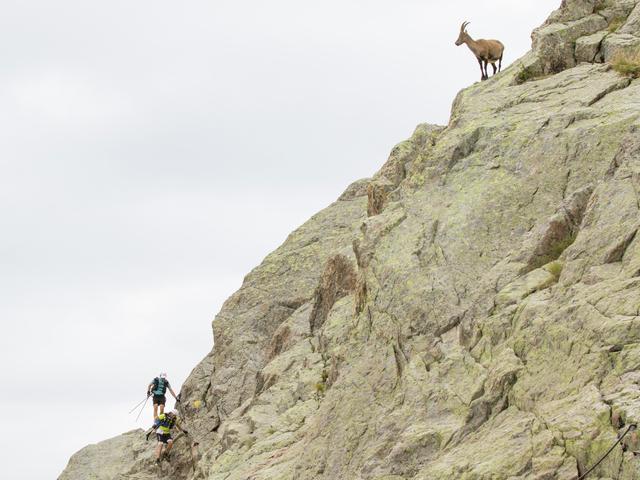 Alpin Ibex at km15, Col de la Glière - Ultra Trail du Mont Blanc 2017