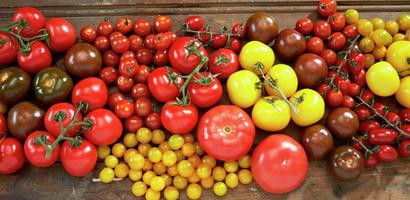 Samlebilde av forskjellige tomatsorter